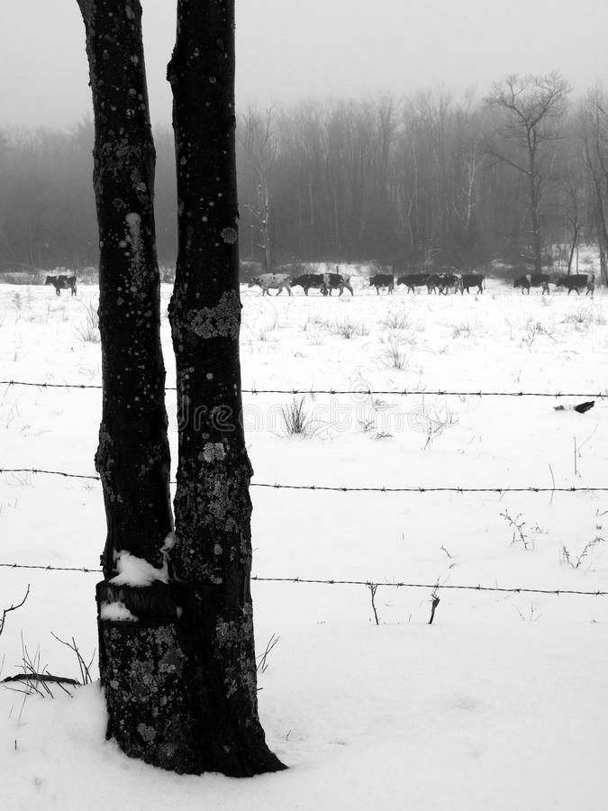 Farm: line of cows in winter fog and snow stock image