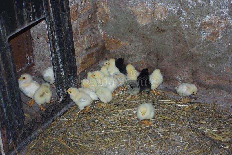 Farm with litte chickens, farm concept. stock image