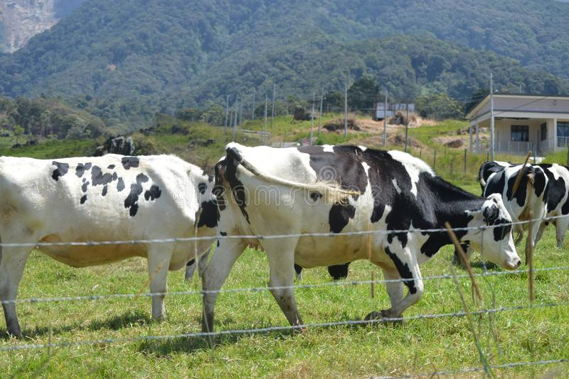 Desa Dairy Farm. This farm is located in Kundasang Sabah Malaysia. It caters for the milk supply of the state royalty free stock photo