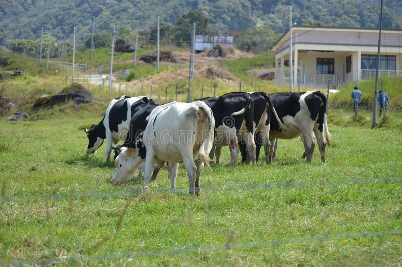 Desa Dairy Farm. This farm is located in Kundasang Sabah Malaysia. It caters for the milk supply of the state stock photography
