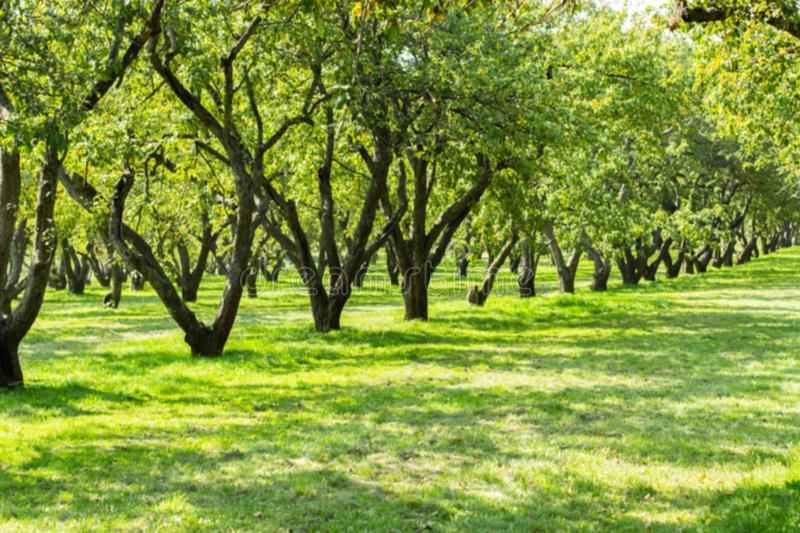 Farm orchard, apple backdrop background. Natural park of fruit trees, green foliage and dark trunks in a row royalty free stock image