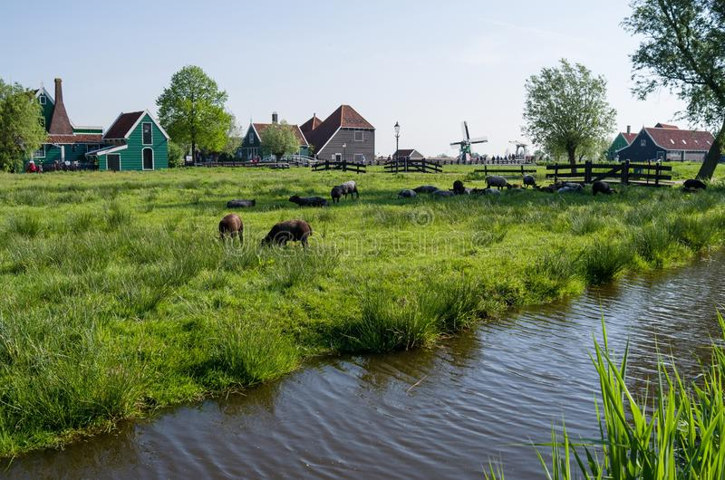 A farm on the outskirts of Amsterdam in the Netherlands. ,Several cows are grazing in the meadow stock image