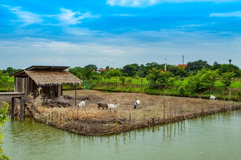 Farm pigs and goats water surrounds the independent type. Farm pigs and goats water surrounds the independent type , Thailand royalty free stock image