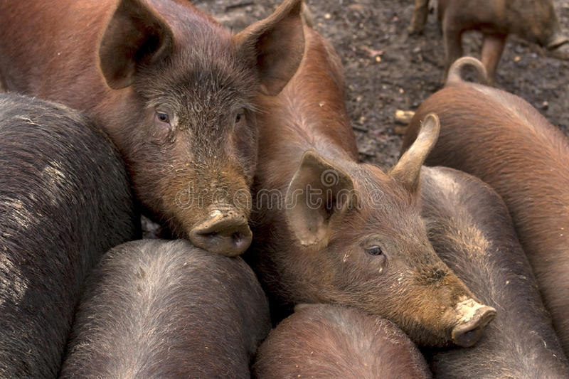 Farm Pigs. A group of pigs on a farm in Virginia stock photo