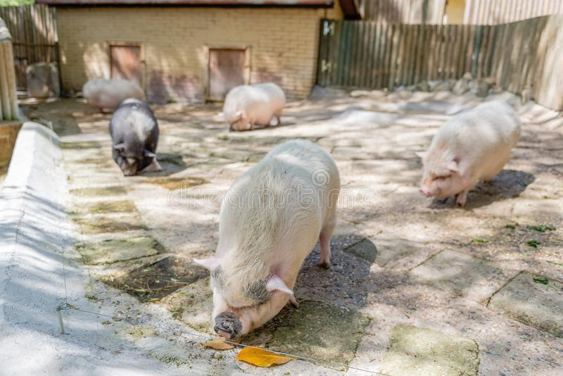 Farm pigs. Pigs looking for food in the farm royalty free stock photos