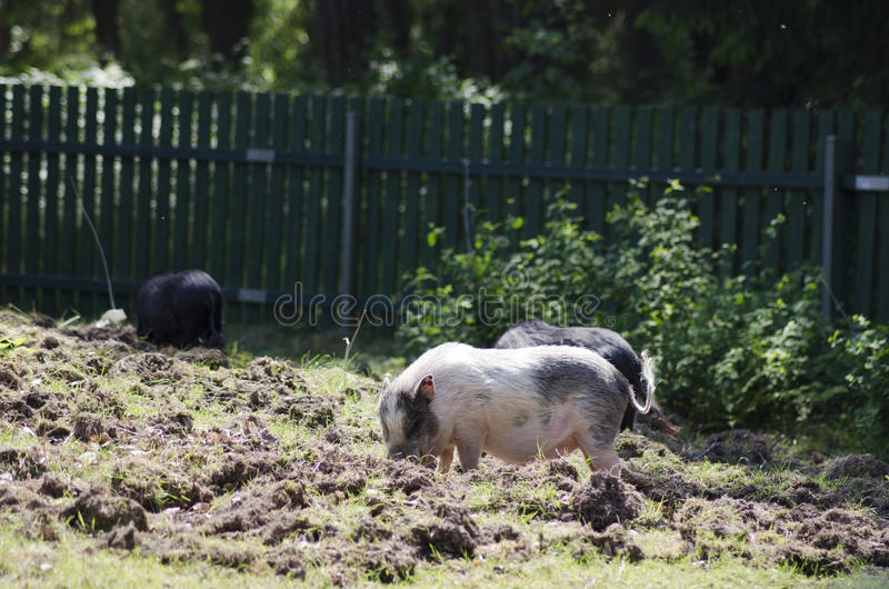 Farm pigs. Three farm pigs looking for food on the ground during a sunny summer day in Scandinavia stock photos