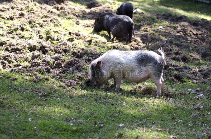 Farm pigs. Three farm pigs looking for food on the ground during a sunny summer day in Scandinavia royalty free stock photos