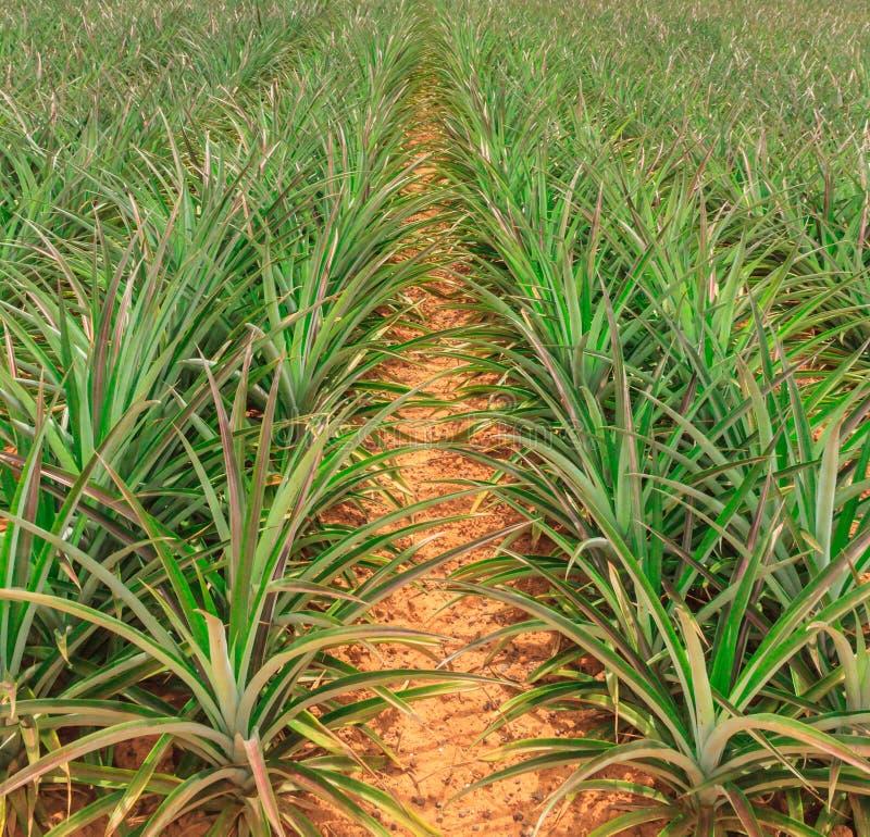 The farm pineapple.