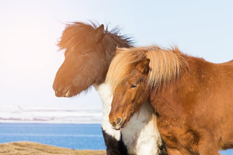 Farm Pony with winter lagoon royalty free stock photo