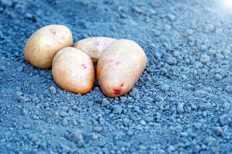 Farm potatoes. organic potato concept. potatoes lie on the ground royalty free stock photography