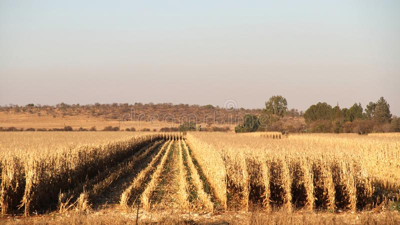 Farm in Potchefstroom, South Africa. Dry maize field ready for harvest royalty free stock photo