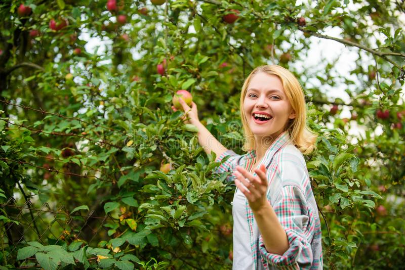 Farm produce organic natural product. Girl rustic style gather apples harvest garden autumn day. Farmer picking ripe. Fruit from tree. Harvesting season concept stock images