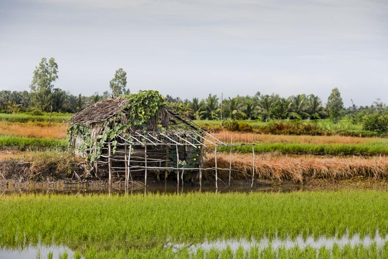 Farm rice royalty free stock image