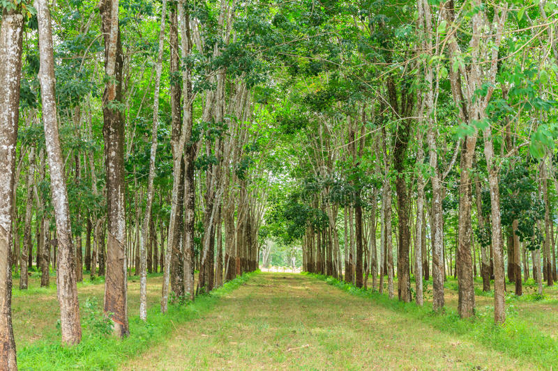 Download The farm rubber tree. stock photo. Image of chlorophyll - 31165200