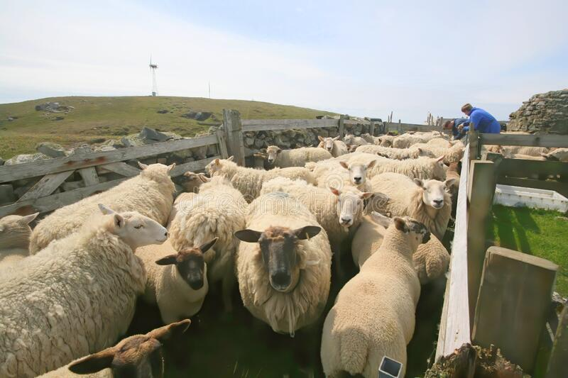 Sheep Being Checked In Sheep Pen Editorial Image - Image of flock, farming:  174662165