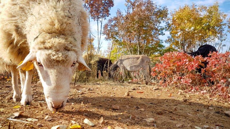 Farm sheep grazing stock photo