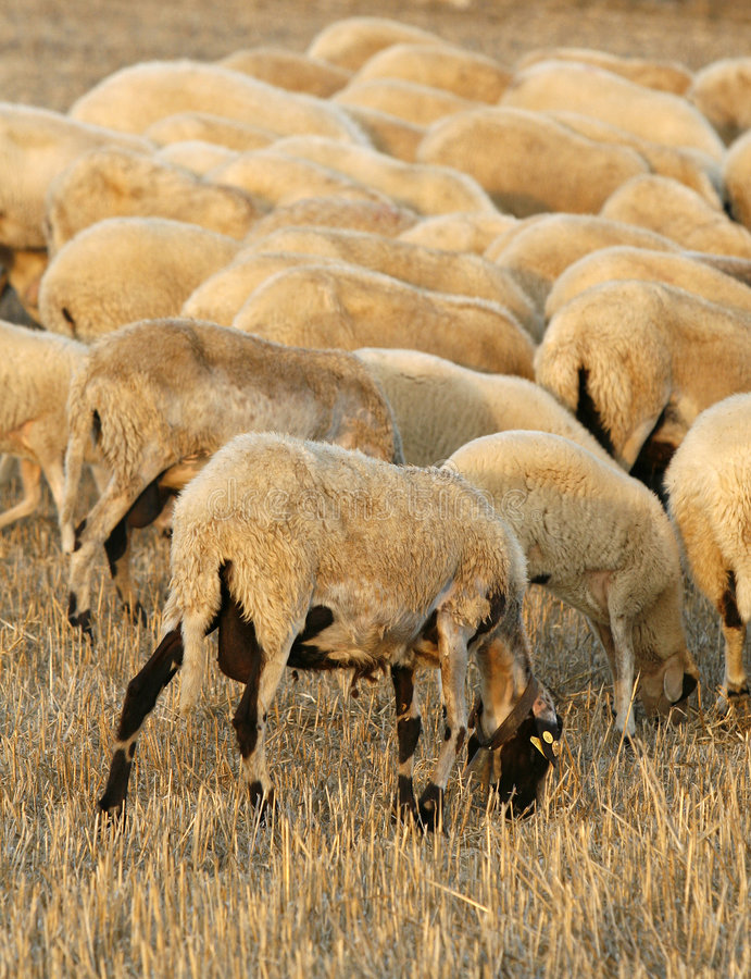Download Farm sheeps stock image. Image of clothes, goat, food - 5631499