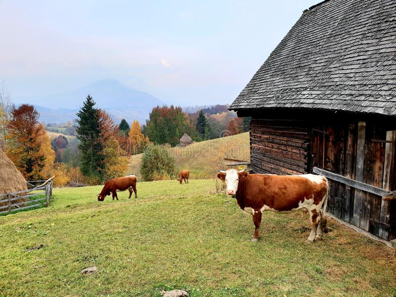 Farm in Sohodol in Brasov county in Romania. Cows on a rural farm in Sohodol in Brasov county in Romania royalty free stock images