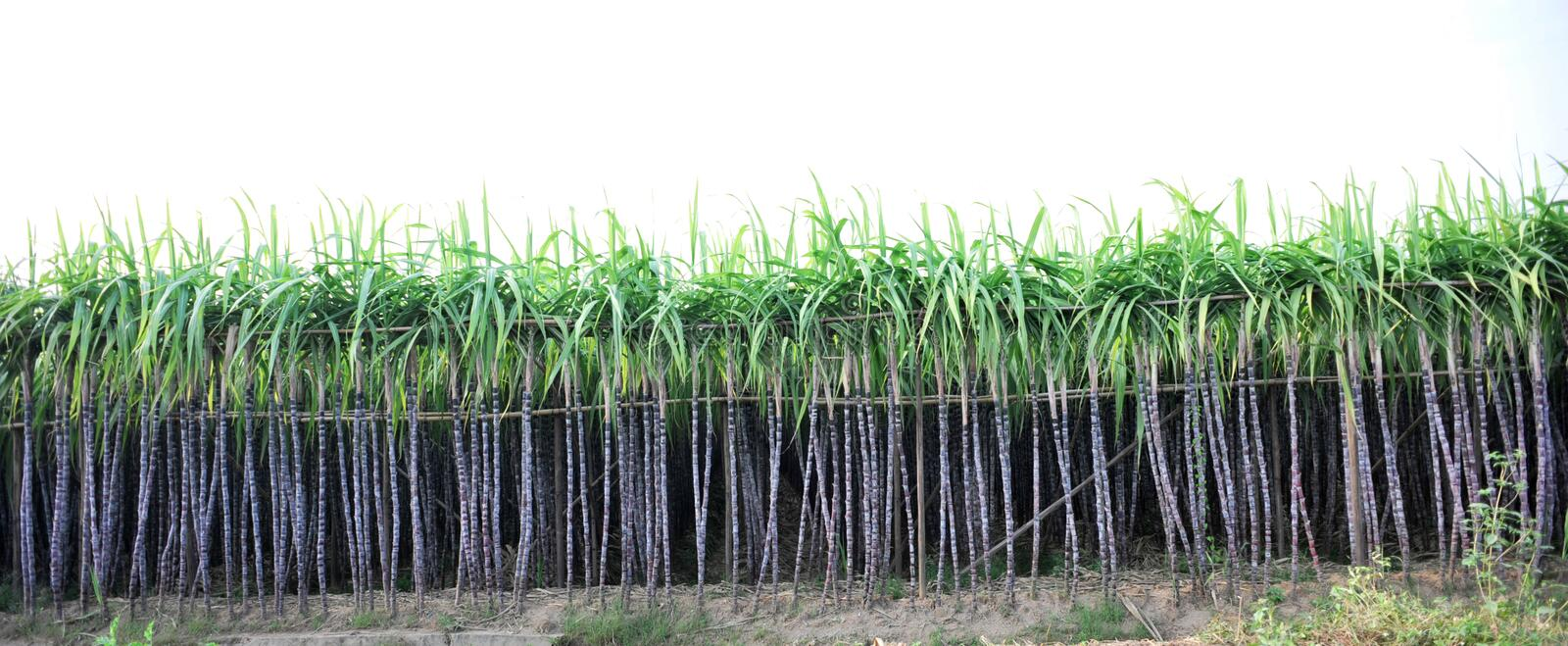 Farm of sugarcane. Black sugar cane plants at field royalty free stock photography