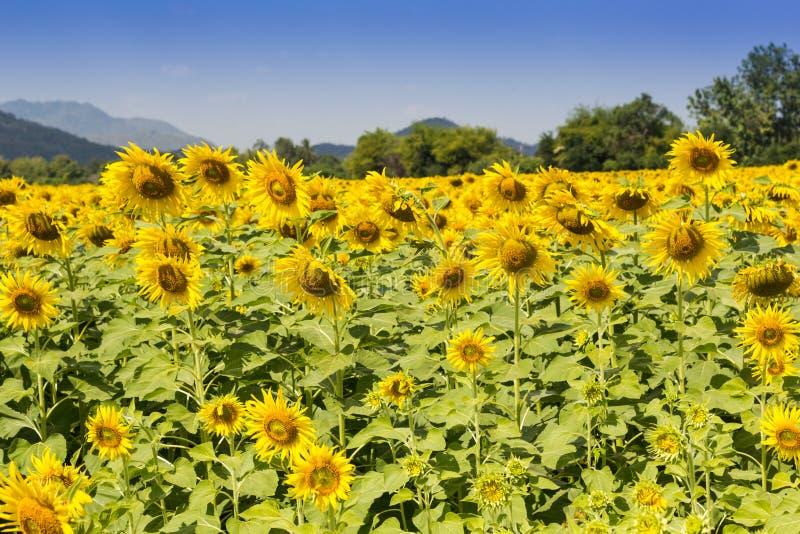 Farm of sunflowers royalty free stock photo