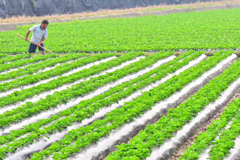 Farm work. Man planting at strawberry field, guangzhou city,china pic on nov 16,2011 stock image