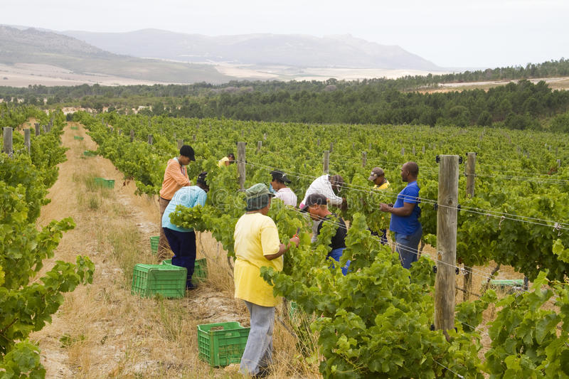 Farm workers harvesting grapes stock photo