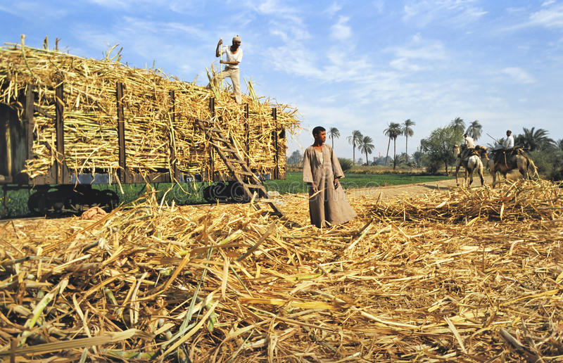 Farm workers loading harvested sugarcane stock photo