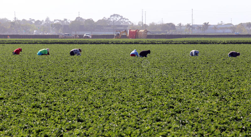Farm Workers in Oxnard. Oxnard, CA, USA – March 17, 2014: Workers pick crops in a field located in Oxnard. Cucumbers, strawberries, beets and lima beans stock image