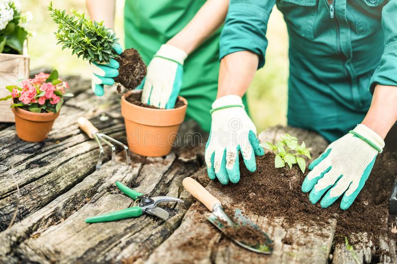 Farm workers taking care on small basil plants at alternative farm. Production - Biology agronomy concept with farmers couple working on local culture - Organic stock image