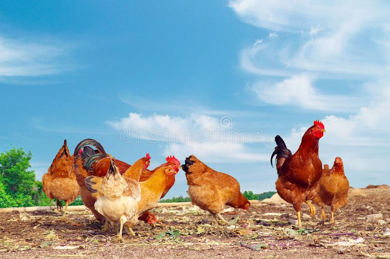 Farm yard chickens. Free range chickens, hens and roosters pecking for food in a rural farm yard stock photo