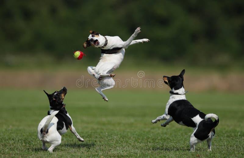 farmdogs 免版税库存照片
