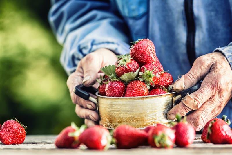 Farme的手充分拿着一个老厨房罐新鲜的成熟草莓 库存图片