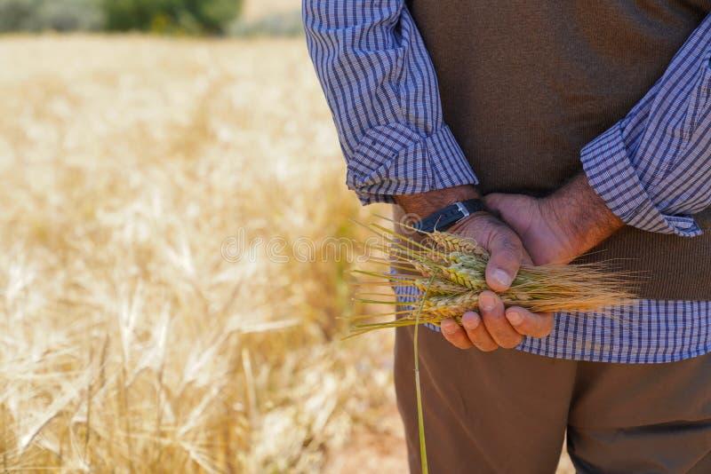 Farmer ή άτομο γεωπόνων που κρατά μερικά αυτιά σίτου στοκ εικόνα