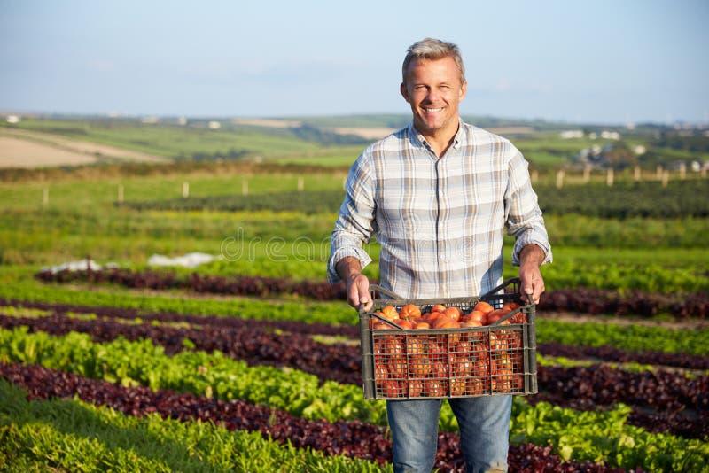 Farmer με την οργανική συγκομιδή ντοματών στο αγρόκτημα στοκ εικόνες με δικαίωμα ελεύθερης χρήσης