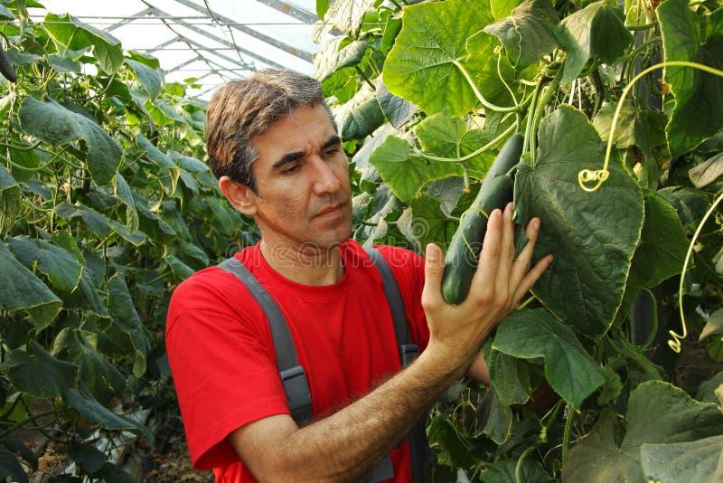 Farmer που ελέγχει τα αγγούρια σε εμπορικό Grenhouse στοκ φωτογραφίες με δικαίωμα ελεύθερης χρήσης