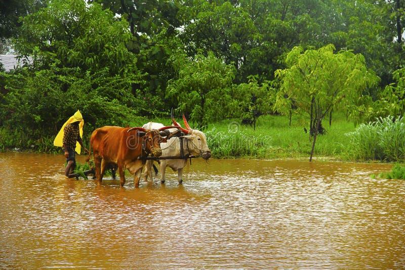 Farmer που λειτουργεί στον τομέα ορυζώνα, πλήρη με το λασπώδες νερό με το ζευγάρι των βοδιών, κοντά σε Lavasa στοκ φωτογραφία με δικαίωμα ελεύθερης χρήσης