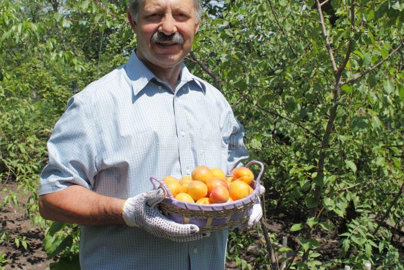 Farmer που παρουσιάζει σύνολο καλαθιών των βερίκοκων στοκ φωτογραφία