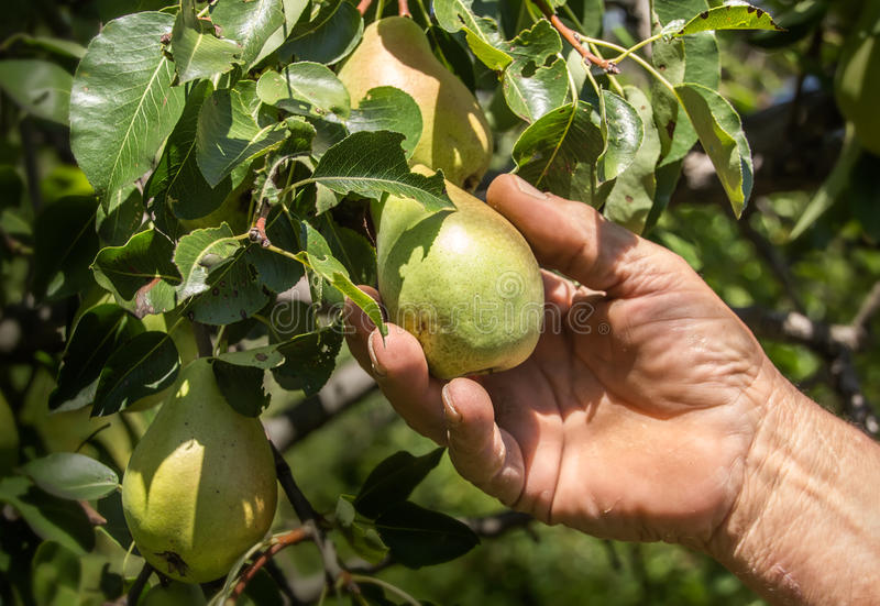Farmer που συλλέγει με το χέρι τα αχλάδια στοκ εικόνες
