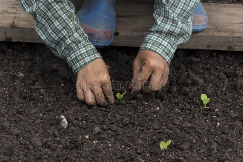 Farmer που φυτεύει τα νέα σπορόφυτα στο καφετί χώμα στοκ εικόνες