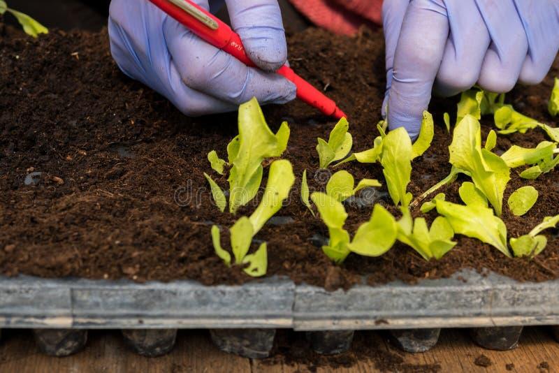 Farmer που φυτεύει τα νέα σπορόφυτα της σαλάτας μαρουλιού στοκ φωτογραφία με δικαίωμα ελεύθερης χρήσης