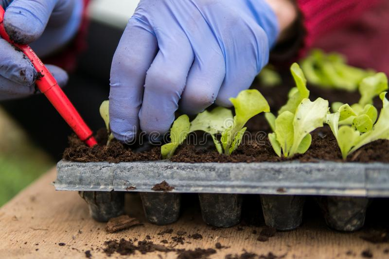 Farmer που φυτεύει τα νέα σπορόφυτα της σαλάτας μαρουλιού στοκ εικόνες
