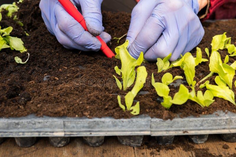 Farmer που φυτεύει τα νέα σπορόφυτα της σαλάτας μαρουλιού στοκ φωτογραφίες
