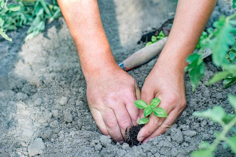 Farmer που φυτεύει τα νέα σπορόφυτα της σαλάτας μαρουλιού στο vegetabl στοκ φωτογραφίες με δικαίωμα ελεύθερης χρήσης
