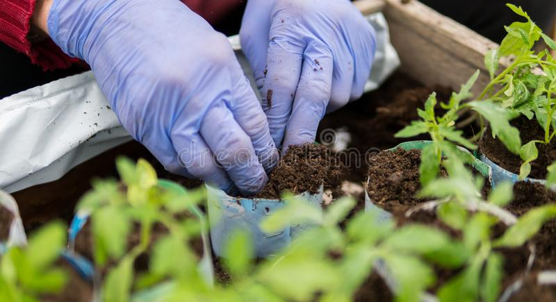 Farmer που φυτεύει τα νέα σπορόφυτα των ντοματών στοκ εικόνα