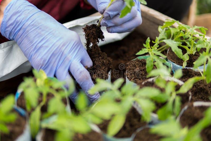 Farmer που φυτεύει τα νέα σπορόφυτα των ντοματών στοκ φωτογραφίες