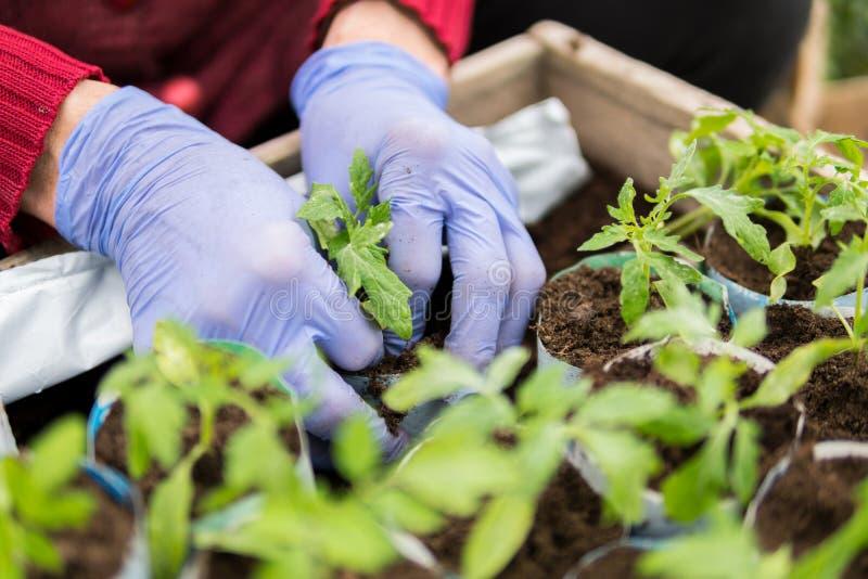 Farmer που φυτεύει τα νέα σπορόφυτα των ντοματών στοκ φωτογραφία με δικαίωμα ελεύθερης χρήσης