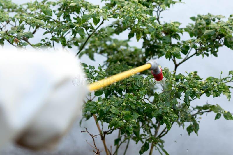 Farmer που ψεκάζει το εντομοκτόνο στις εγκαταστάσεις τσίλι στοκ φωτογραφία
