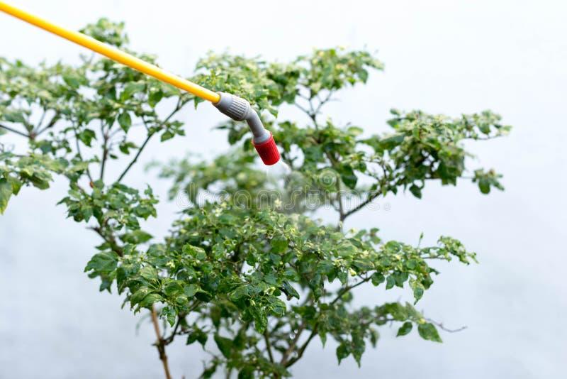 Farmer που ψεκάζει το εντομοκτόνο στις εγκαταστάσεις τσίλι στοκ φωτογραφίες