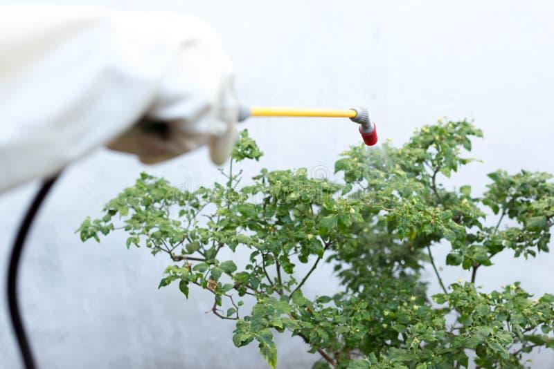 Farmer που ψεκάζει το εντομοκτόνο στις εγκαταστάσεις τσίλι στοκ εικόνες
