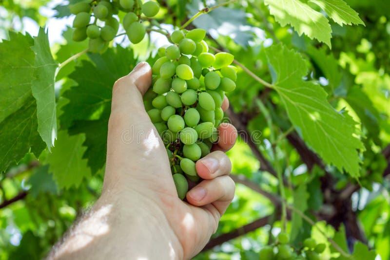 Farmer στον αμπελώνα του που ελέγχει και που προστατεύει τα προϊόντα του, τα φρούτα σταφυλιών στο αγρόκτημα και το προϊόν για το  στοκ εικόνες